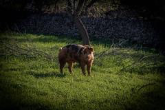 Porc mallorquí (Adrià Páez) Tags: porc mallorquí cerdo pig animal nature naturaleza tree árbol green verde vegetation vegetación mallorca majorca baleares balearic balears illes islands islas spain españa europa europe sineu canon eos 7d mark ii