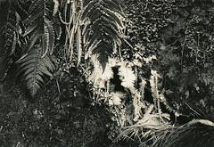 Farn-Frost (Uwe Kielas) Tags: analog film ilford fp4 xtol variotonepremium moersch se6blue selentonung schwefeltonung silbergelantine barytprint leicam6summicron235film frost farn natur