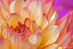 Dahlia-55 (Nualchemist) Tags: flower plant nature simplyflowers petals pink bloom green greenleaves floralphotography dahlia yellow red summer fullbloom botanical bright light floral heavenly macro orange 2016dahliashow colorful white closeup delightful glorious magical soft goldengatepark pretty palepink lightpink enchanting sanfrancisco singleflower cheerful joyful delight california colors palette botanicalgarden organicpattern purple lavender designbynature geometric elementsofdesign silky velvet softlight veil tender flame fire satin translucent