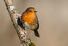 _F0A8672.jpg (Kico Lopez) Tags: erithacusrubecula galicia lugo miño petirrojo spain aves birds rio