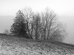 under the spell of the fog, Im Bann des Nebels (scubaluna) Tags: fog mist misty above foggy mnochrome blackandwhite schwarzweiss outdoors nature landscape grassland pasture frost frosty cold overcast light illumination switzerland eigenthal trees baumgruppe solitär nebelstimmung lichtstimmung winter season jahreszeit december scubalunaphotography olympusesystem omdem1 scene scenics scenery bäume