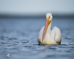Requiem (santosh_shanmuga) Tags: american white pelican bird birding aves wild wildlife nature animal outdoor nikon d810 500mm outdoors water serene fl florida esa endangeredspeciesact save conservation conserve wwf iucn epa species world earth ecosystem environment