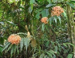 20060803_27 (Badly Drawn Dad) Tags: malaysia mys sabah geo:lat=604705858 geo:lon=11670237780 geotagged poringhotsprings junglewalk flowers