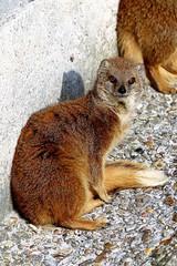 Yellow Mangoose (Herve Tainturier) Tags: mongoose