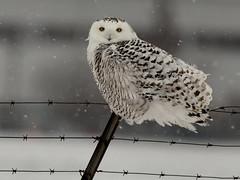 Harfang des neiges --- Snowy owl --- Búho del Ártico (Jacques Sauvé) Tags: harfang des neiges snowy owl búho del ártico hibou ookpik