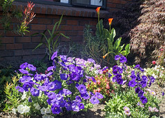 Competing with the Lilies (XPinger (Chris Sutton)) Tags: plantsandflowers petunias flowers annuals garden cannalily topazdetail