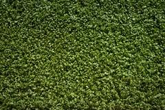 Carpet of Veggies (Syahrel Azha Hashim) Tags: carpet sony shallow holiday nopeople simple aqaba 2017 details a7ii farm ilce7m2 organic dof produce getaway handheld colorimage vacation prime texture naturallight colorful 35mm sonya7 travel syahrel veggie vegetables colors green agriculture jordan light detail
