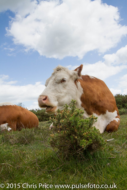 New Forest Cattle