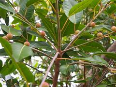 Ficus superba var. henneana (aussieplants) Tags: ficus moraceae arfp ficussuperba ficussuperbavarhenneana deciduousfig nswrfp qrfp ntrfp arffs pinkarffs monsoonarf tropicalarf lowlandarf uplandarf subtropicalarf cyrfp ficushenneana