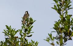 canto del passero (elias.seddone) Tags: sardegna birds animal mare sardinia blu ali uccelli sparrow animali passero gallura volatili budoni tanaunella sardinianbirds gorriòn