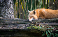 Napping on the Sly (Darren Berg) Tags: sleeping wild log explore fox napping explored