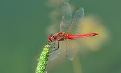 Frhe Heidelibelle, Mnnchen, Sympetrum fonscolombii (staretschek) Tags: rot frhe heidelibelle sympetrum fonscolombii segellibelle groslibelle