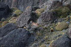 Male puma looking back from walk along rocks (Paul Cottis) Tags: chile patagonia mammal 10 bigcat april puma cougar mountainlion mrsc 2015 paulcottis