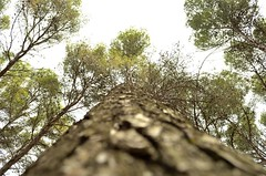 Pino (AntoinePound) Tags: tree nature pine outdoor