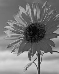 ...better than violets. (armykat) Tags: blackandwhite floral monochrome petals bee sunflowers honeybee harfordcounty literaryreferences monktonmaryland natureycrap jarrettsvillepike harfordcountymaryland tagbotyouredrunkgohome sunflowersacrilege waybetterthanviolets nooffensetoviolets dearflickrtagbotyouareanidiotthereisnophotoborderhere