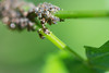 fourmi qui trait ses pucerons.jpg (Sylvain Bédard) Tags: nature ant insects aphid fourmi puceron commensalism commensalisme