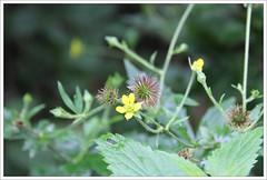 Echte Nelkenwurz (Geum urbanum) (Maggi_94) Tags: nature natur blte blten geum rosaceae nelkenwurz rosengewchs fruchtstand rosengewchse fruchstnde nelkenwurzen