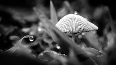 Mushroom (robert.j.bruner) Tags: morning plants macro mushroom grass closeup lawn drop dew fungus fed52mmf28