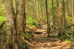 Lyon Mountain Trail III (DavetheHiker) Tags: trees mountain ny newyork nature forest hiking adirondacks trail upstatenewyork adk boreal adirondackmountains clintoncounty adirondackpark lyonmountain adirondackregion