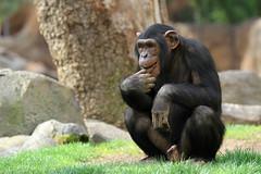 Chimpanzé (olivier.ghettem) Tags: valencia animal zoo monkey spain ape chimpanzee extérieur espagne primate valence afrique singe chimpanzé chimpancé bioparcvalencia