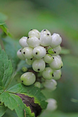 CAC033189a (jerryoldenettel) Tags: flower berry nm wildflower ranunculaceae 2015 baneberry actaearubra actaea ranunculales eudicots sanpedroparks rioarribaco vegaredondotrail43