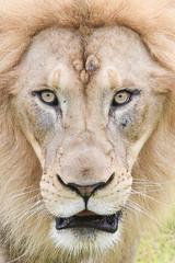 african lion closeup