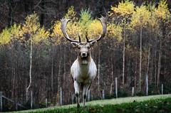 La Roche-en-Ardenne (lesougn) Tags: parc gibier cerfs daim biche loup sanglier roche ardenne larocheenardenne nature forts troupeau marcassin lynx chvres d7000 18200 nikon nikkor belgique