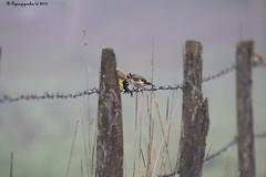 Discussion de Chardonnerets sur une barrière / Goldfinch on fence HFF (BPBP42) Tags: oiseaux bird vogel animal barriere fence bokeh