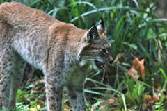 Eurasian lynx (Lynx lynx) (2) (Geckoo76) Tags: eurasianlynx lynx lynxlynx