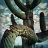 Up close in Saguaro National Park... (allophile) Tags: saguaronationalpark arizonapassages arizona saguaro tintype tintypeapp hipstamatic iphone6s shotoniphone6s mobiography mobilephotography iphoneography snapseed cactusportrait