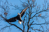 Eagles 1.1.2017-3 (alan.forshee) Tags: birds flight eagles bald trumpeter swans feathers flying launch land prey predator fish sky water fowl
