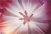 der erste Frühlingsbote erscheint mitten im Winter (geka_photo) Tags: gekaphoto blüte blüten tulpe frühblüher lichtdurchflutet blütenstempel