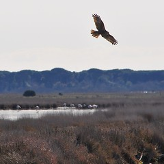 Hawk, flamingos and fox (Jambo Jambo) Tags: fenicotteri flamingos falco falcodipalude hawk marshhawk volpe fox palude padule marsh swamp panorama landscape riservanaturaledelladiacciabotrona diacciabotrona castiglionedellapescaia grosseto maremma maremmacountryside maremmatoscana toscana tuscany italia italy nikond5000 jambojambo pontidibadia circusaeruginosus westernmarshharrier