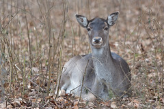 Wildlife (gresalex) Tags: agile animal antler autumn buck creature deer endangered environment fall fauna forest game horizontal horned hunter hunting isolated male mammal natural nature outdoors park predator rare species tree wild wildcat wilderness wildlife woodland