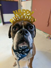 Happy Birthday Vinny (happy_hounds) Tags: dogdaycare dog daycare puppy pups boarding cagefree dogsofflickr purebred rescuedog happyhounds plymouthmichigan happyhoundsdogdaycare