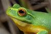 Dainty Tree Frog (Litoria gracilenta) (Brendan Schembri) Tags: litoria gracilenta dainty tree frog australia queensland brendanschembri