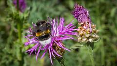 Imolák beporzás közben (jetiahegyen) Tags: virág rovar börzsöny outdoor túra túrázás kirándulás tour hiking