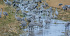 Sandhill Cranes (Summerside90) Tags: birds birdwatcher sandhillcranes december winter nature wildlife ontario canada