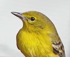 a friendly Pine warbler (Vicki's Nature) Tags: pinewarbler bird yellow male warbler winter yard georgia vickisnature canon s5 6295 macro closeup feathers eye ngc