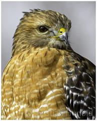 red-shouldered hawk (Christian Hunold) Tags: redshoulderedhawk buteolineatus hawk raptor birdofprey portrait rotschulterbussard johnheinznwr philadelphia christianhunold