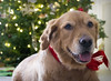Olive at Christmas II (Photato Jonez) Tags: olive pup puppy golden retriever greenville michigan alex alexander day christmas december holiday holidays