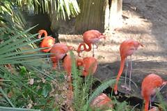 Flamingos 15/12/2016 - 1 (s.kosoris) Tags: skosoris nikond3100 d3100 nikon tampa tampazoo bird flamingo pink animal