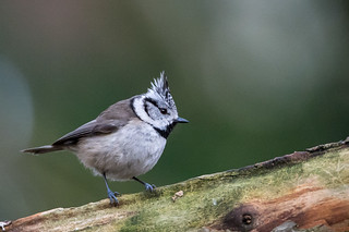 Tofsmes - Crested tit