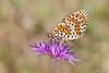 Melitaea didyma.. (Silvio Sola) Tags: didima fritillaria farfalla campo fiore closeup butterfly macro canoneos40d canonef100mmf28 silviosola colori fiori damierdesprés