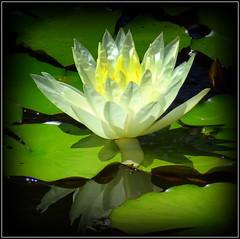 Natural Beauty (dimaruss34) Tags: newyork brooklyn dmitriyfomenko image flower waterlily