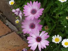 Dasies in my garden (pat.bluey) Tags: mygarden flowers blacktown nsw australia 1001nights 1001nightsmagiccity