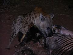 A Hearty Breakfast (Makgobokgobo) Tags: africa mammal riverfront botswana predator chobe hyena hyaena crocutacrocuta crocuta cnp spottedhyena chobenationalpark spottedhyaena