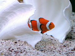 Nemo (DigiPub) Tags: fish restaurant nemo explore clownfish yokohama  anemonefish    ocellaris  orangeanemonefish amphiprion