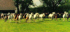 mare herd (bea2108) Tags: horses horse beautiful animal animals wow arab arabian arabianhorse