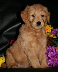 Goldendoodle Male #2 (now named Jack) (eastick_east) Tags: dog puppy jack goldendoodle swissridgekennels